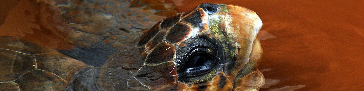 tartamare-tartarughe